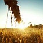 Getreide mit Gluten als Antinutrient