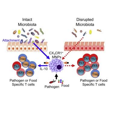 Wie der Darm (Mikrobiom) das Immunsystem stärken kann.